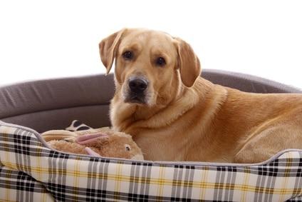 Golden Retriever im orthopädischen Hundebett