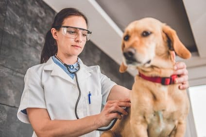 Inkontinenter Hund beim Tierarzt