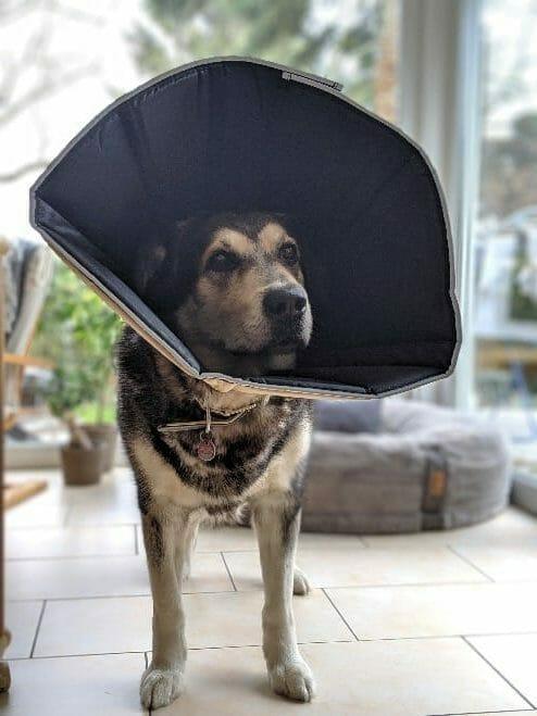 Mein Hund mit Comfy Cone Halskrause
