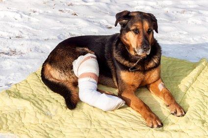 Verletzter Hund braucht eine Tragehilfe
