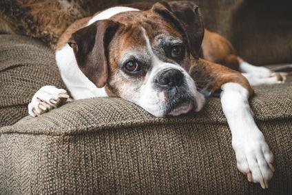 Alter Hund auf dem Sofa
