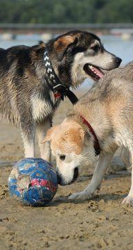 hunde-im-sommer-am-see-strand-schimmen