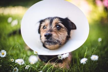 Halskrause-für-Hunde-bei-Traumeel-Anwendung