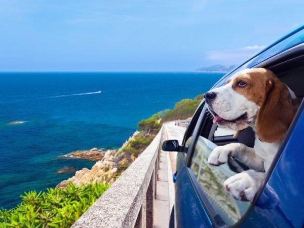 Hund-mit-Arthrose-fährt-in-den-Urlaub