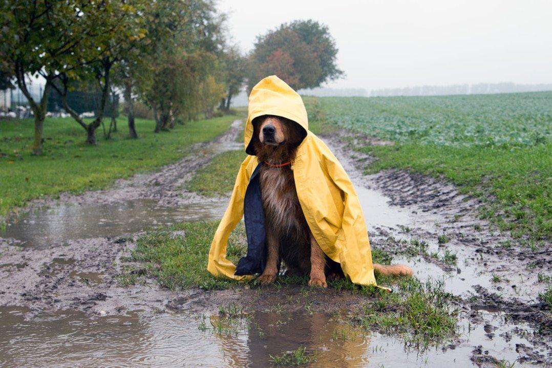 Hund mit Arthrose im Regen sitzt in einer Pfütze