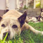 Hilft Traumeel gegen Arthrose beim Hund?