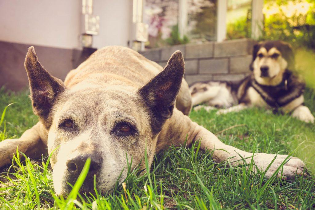 Traumeel-beim-Hund-mit-Arthrose