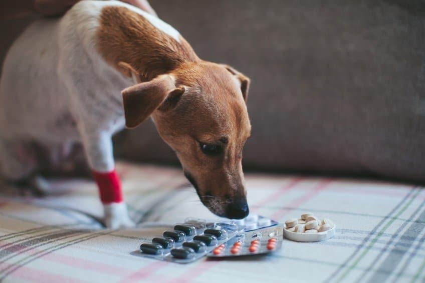 Traumeel für Hunde hat eine schmerzstillende und entzündungshemmende Wirkung