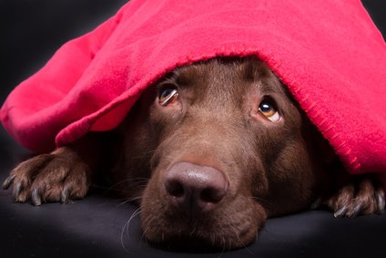 Hund hat zu Silvester Angst
