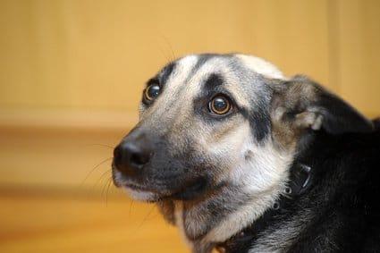 Silvester-Angst beim Hund