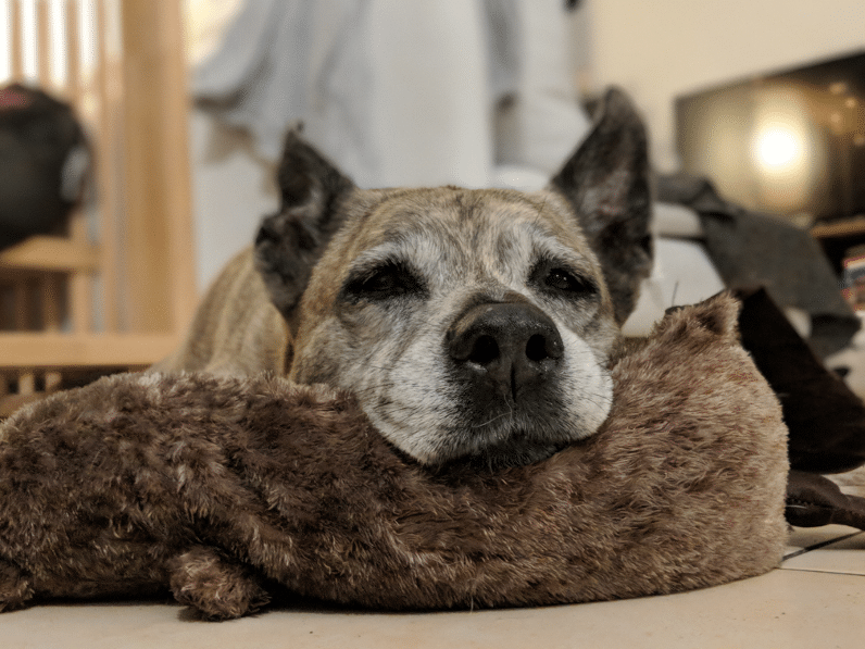 Hund lethargisch