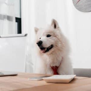 Alte Hunde als Bürohund