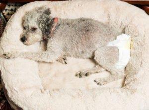 Hundewindeln für inkontinente Hunde