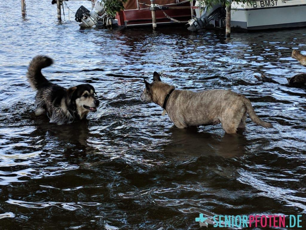 Hundepool oder See - schwimmende Hunde