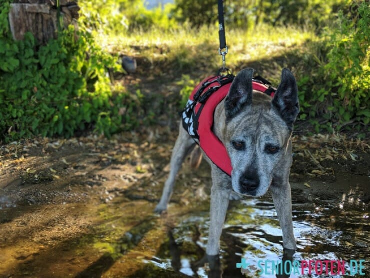 Hundeschwimmweste für alte Hunde