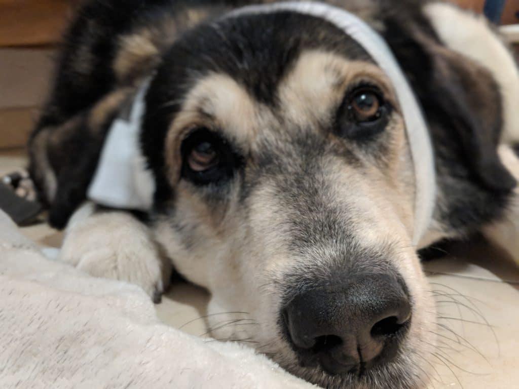 Mein Hund mit Leckschutz und einer Wunde am Kopf