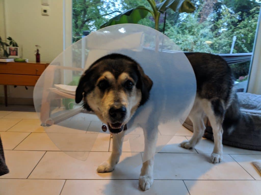 Mein Hund mit Leckschutzkragen aus Kunststoff