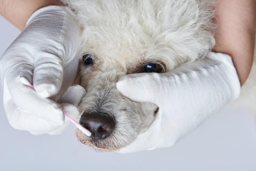Hund blutet aus der Nase