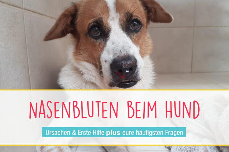 Nasenbluten beim Hund