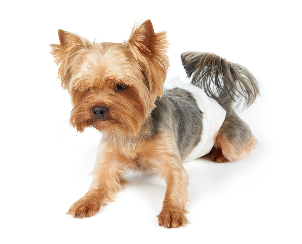 Hund pinkelt in die Wohnung - Hundewindeln