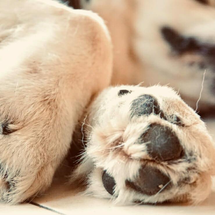 Pans Hundepfoten